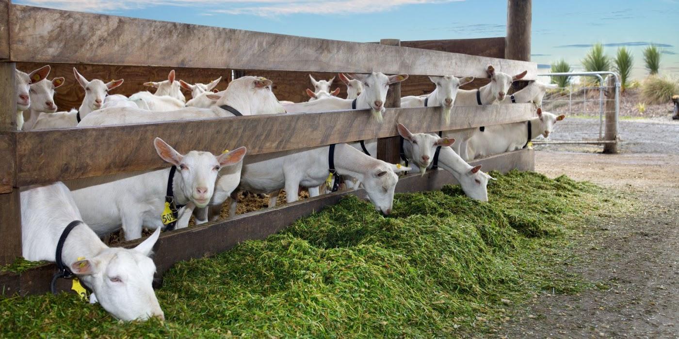 usaha ternak kambing